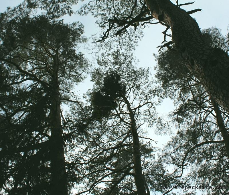Raganos šluota ir drevėtas medis dešinėje